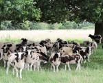 Jacob Sheep at Charlecote Park